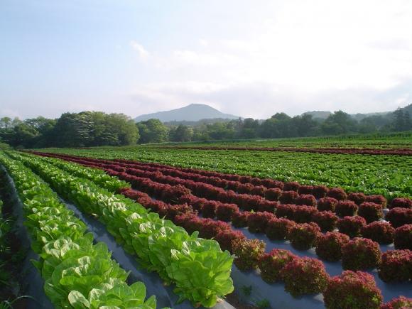 群馬県にあるワタミファーム倉渕農場。レタスやキャベツなど、葉物や高原野菜の栽培を行う