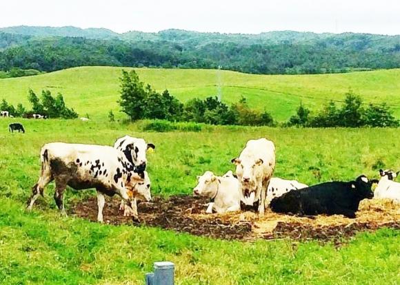 広大な牧場で休む牛たち