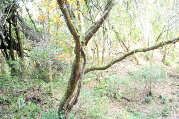 木にからまっているツル