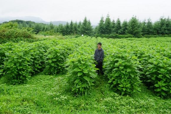 きく芋の栽培。生長が早く、草丈は3mにもなるほど繁殖力が強い