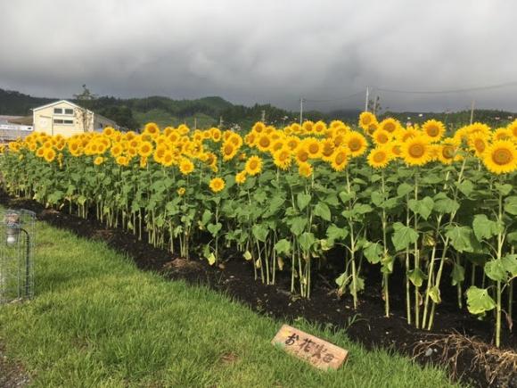 ワタミオーガニックランドで咲き乱れるひまわり